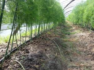 asparagus-gallery-10