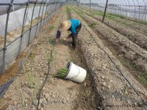 asparagus-gallery-13