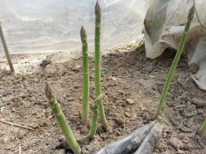 asparagus-gallery-3