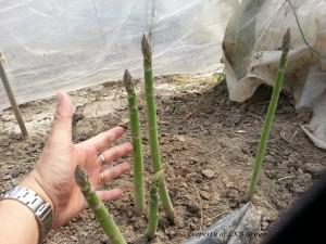 asparagus-gallery-5