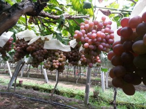 grapes-gallery-10