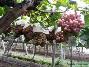 grapes-gallery-11