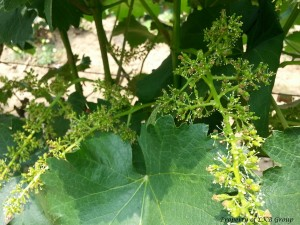 grapes-gallery-3