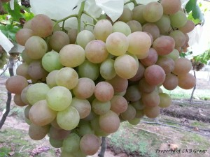 grapes-gallery-4