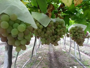 grapes-gallery-5