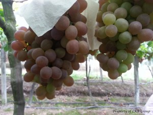 grapes-gallery-6