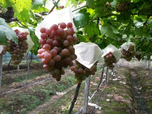 grapes-gallery-8