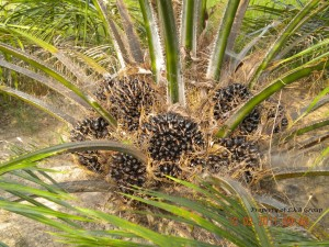 oil-palm-gallery-1