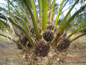 oil-palm-gallery-10