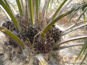 oil-palm-gallery-11