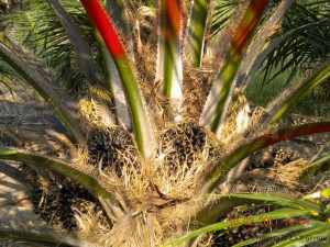 oil-palm-gallery-12