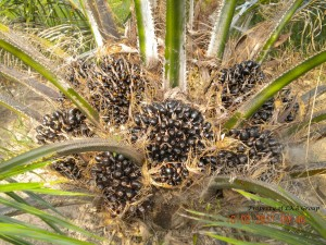 oil-palm-gallery-2