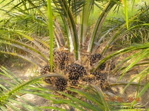 oil-palm-gallery-3