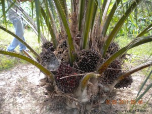 oil-palm-gallery-4