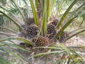 oil-palm-gallery-5