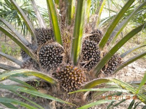 oil-palm-gallery-6