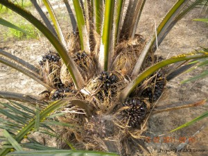 oil-palm-gallery-7