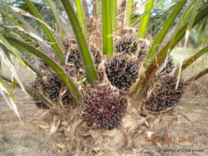 oil-palm-gallery-9