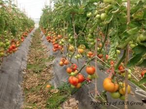 tomato-gallery-12