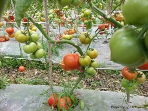 tomato-gallery-5