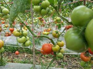 tomato-gallery-6