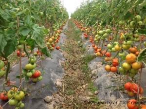 tomato-gallery-9